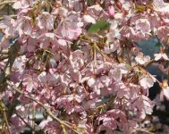 Prunus pendula 'Pendula Rubra' (Single Pink Weeping Cherry) - 9L Pot