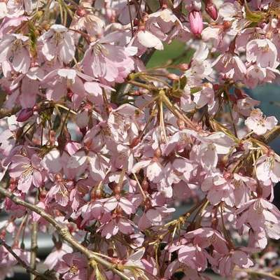 5ft Single Pink Weeping Cherry Blossom Tree | 9L Pot | Prunus pendula Pendula Rubra