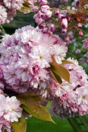 5ft Pink Perfection Cherry Blossom Tree | 9L Pot