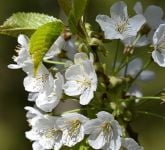 Prunus 'Tai-haku' (Great White Cherry) - 9L Pot