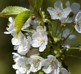 5ft Great White Cherry Blossom Tree | 9L Pot |Prunus Tai-haku
