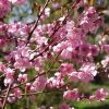 5ft Spring Glow Cherry Blossom Tree | 9L Pot | Prunus x persicoides Spring Glow