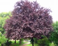 Prunus cerasifera 'Nigra' (Black Cherry Plum) - 9L Pot