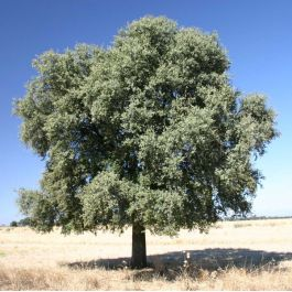 5ft Evergreen Oak Tree | 9L Pot | Quercus ilex