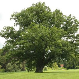 5ft English Oak Tree | 9L Pot | Quercus robur