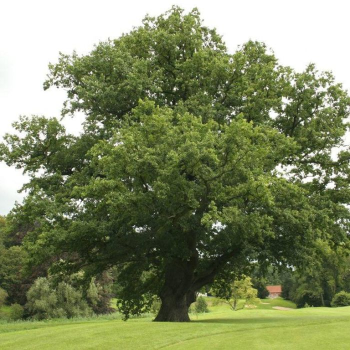 5ft English Oak Tree |Bare Root | Quercus robur
