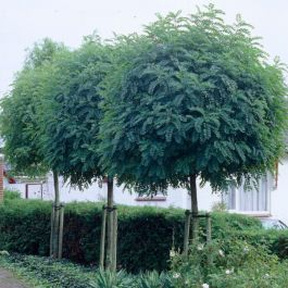 12ft False Acacia | Full Standard |18L | Robinia Pseudoacacia