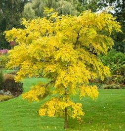5ft Golden false acacia | Bare Root | Robinia pseudoacacia Frisia