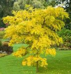 Robinia Pseudoacacia (Golden False Acacia)  15L