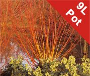 Salix alba 'Britzenis' (Scarlet Willow) - 9L Pot