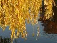 Salix x sepulcralis 'Chrysocoma' (Golden Weeping Willow) - 9L Pot