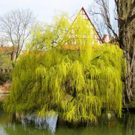 4ft Golden Weeping Willow Tree | Bare Root |'Salix chrysocoma'