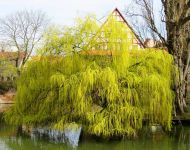 Golden Weeping Williow 90-120cm Bare Root 'Salix chrysocoma'
