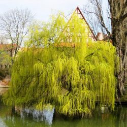 5ft Golden Weeping Willow Tree | 9L Pot | Salix x sepulcralis 'Chrysocoma'