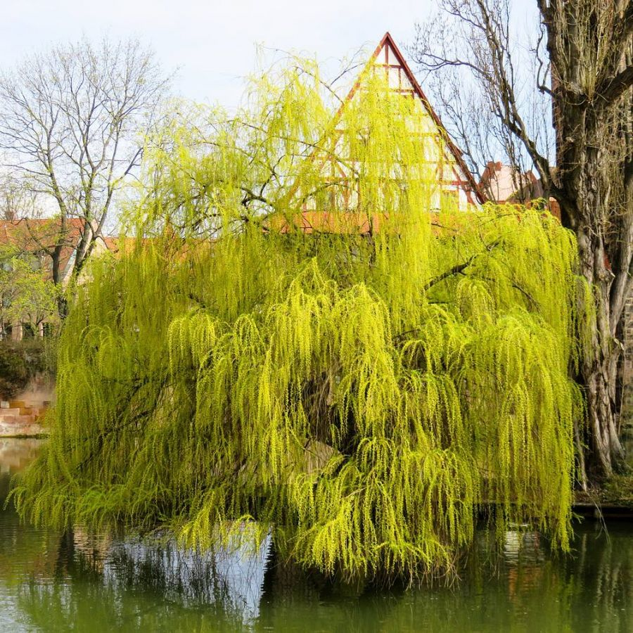 5ft Golden Weeping Willow Tree | 12L Pot | Salix x sepulcralis 'Chrysocoma' | By Frank P Matthews™