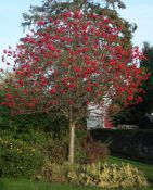 Rowan Tree - 9L Pot (Sorbus aucuparia)