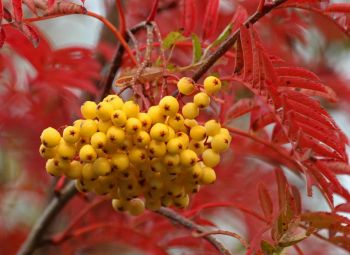 Sorbus 'Joseph Rock' (Joseph Rock Mountain Ash) - 9L Pot