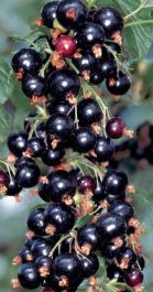 1ft 'Ben Adler' Blackcurrant Bush | 3L Pot