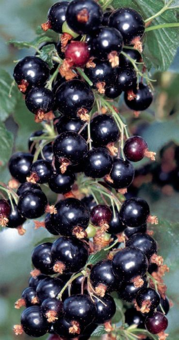 1ft 'Ben Alder' Blackcurrant Bush | 3L Pot