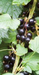 1ft 'Ben Connan' Blackcurrant Bush | 3L Pot
