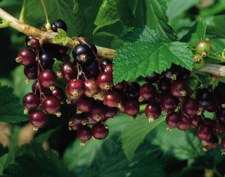 Titania' Blackcurrant Bush | Bare Root