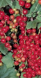 1ft 'Jonkheer van Tets' Redcurrant Bush | 3L Pot