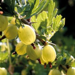 1ft 'Hinnonmaki Yellow' Gooseberry Bush | 3L Pot