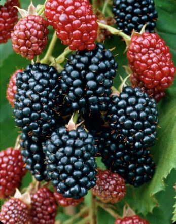 Blackberry 'Black Butte' Bush -  Rubus Fruticosus - 3L Pot