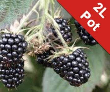 Blackberry 'Loch Maree' Bush - Rubus Fruticosus - 2L Pot