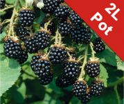 Blackberry 'Loch Ness' Bush - Rubus Fruticosus - 2L Pot