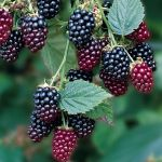 Blackberry 'Thornfree' Bush - Rubus Fruticosus - Bare Root