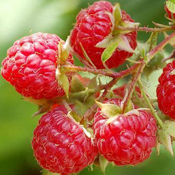 Raspberry 'Glen Lyon' Bush - Rubus Idaeus - 3L Pot
