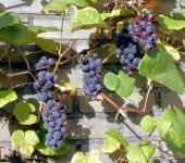 Grape 'Boskoop Glory' -Vitis Vinifera - 2L Pot