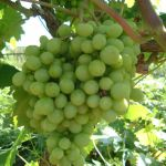 Grape 'Vroege van der Laan' -Vitis Vinifera - 3L Pot