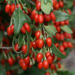 Goji Berry Bush - Lycium barbarum - 3L Pot