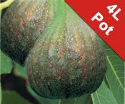 Fig Tree 'Brown Turkey' Standard - 4L Pot