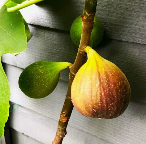 1-2ft ''Brown Turkey' Fig Tree | 3L Pot