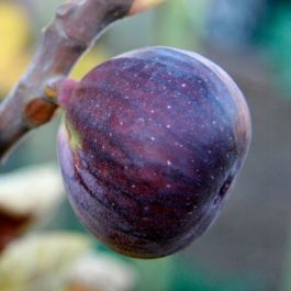 1-2ft ''Rouge de Bordeaux' Fig Tree | 3L Pot