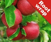 Dessert Apple 'Jonagold' Tree - Malus Domestica - Bare Root