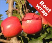 Jupiter' Dessert Apple Tree - Bare Root