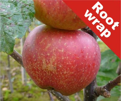 Kidd's Orange Red' Dessert Apple Tree - Root Wrapped