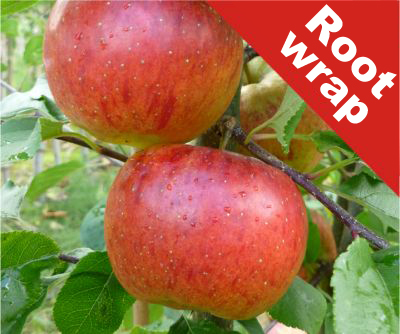 Pixie' Dessert Apple Tree - Bare Root