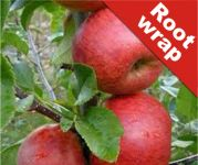 Red Windsor' Dessert Apple Tree- Root Wrapped