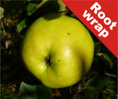 Lord Derby' Cooking Apple Tree - Bare Root