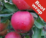Newton Wonder' Cooking Apple Tree - Bare Root