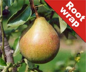 5ft 'Onward' Pear Tree | Quince A Semi Dwarfing Rootstock | Bare Root