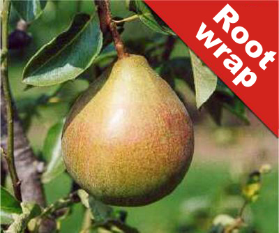 5ft 'Onward' Pear Tree | Quince A Semi Dwarfing Rootstock | 9L Pot