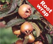 Medlar Tree 'Westerveld' - Root Wrapped