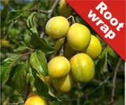 Plum Tree 'Coe's Golden Drop' - Root Wrapped