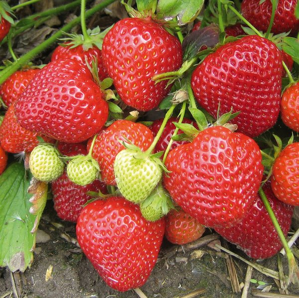 Cambridge Favourite' Strawberry Plants | Pack of 5 Bare roots
